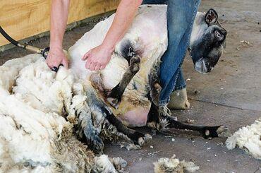 ветеринар бишкек in Кыргызстан | УСЛУГИ ВЕТЕРИНАРА: Кой кыркабыз(стрижем овец) качественно недорого быстро!Звоните,пишите