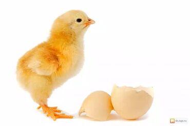 Продаются 5 дневные бройлерные цыплята арбор айкрес. В 30 дней вес