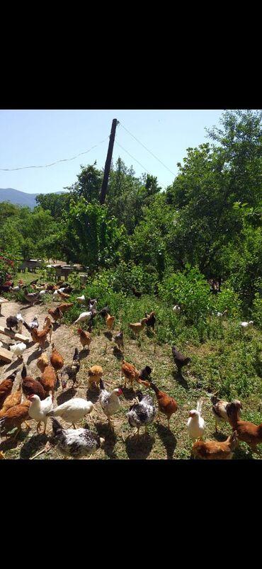 Lerik rayonunda yetişmiş kənd çolpalari. İstəyən özü gəlib seçib apara