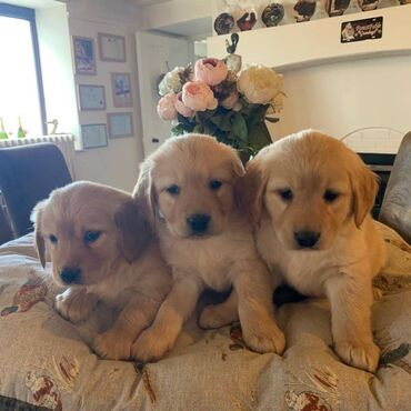 Πωλούνται κουτάβια Golden Retriever έχουμε αρσενικά και θηλυκά