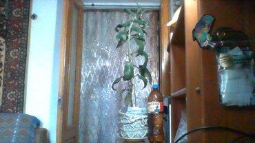 Продаю комнатные цветы. Каланкой  0,70см.  и  отростки, золотой ус в Бишкек