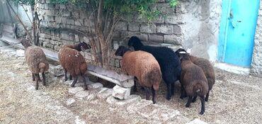 quzular - Azərbaycan: Qoc ve quzular. Saglam damazliq heyvanlardir. Istiyen elaqe saxlasin