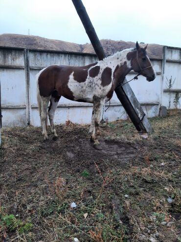 138 объявлений   ЖИВОТНЫЕ: Продаю   Конь (самец)   Конный спорт   Осеменитель