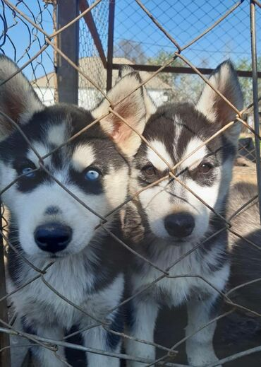 Собаки - Бишкек: Собаки