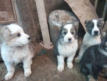 Животные - Кызыл-Кия: Алабай