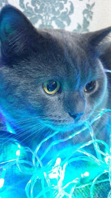 шотландский кот на вязку в Кыргызстан: Не продаётся!!!! Котик на вязку. Чистокровный шотландец  привит с родо