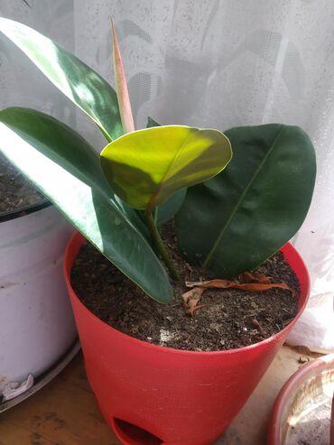 Комнатные растения в Кок-Ой: Фикус маленький