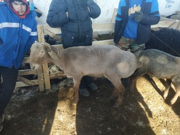 Бараны, овцы - Назначение: Для разведения - Бишкек: Продаю   Баран (самец)   Гиссарская   Для разведения   Племенные