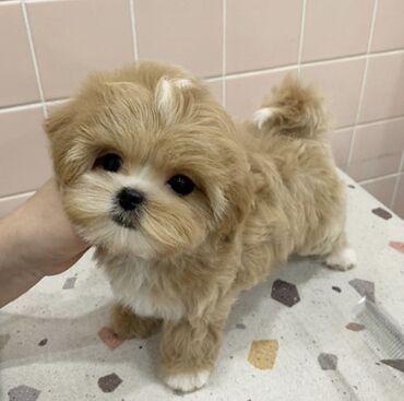 Nice and Healthy Maltipoo / Poodle / Bichon / Pomeranian κουτάβια