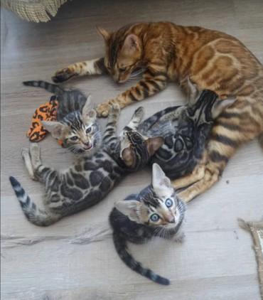Бенгальские котята.проф питомник элитных животных .воспитаны приучены