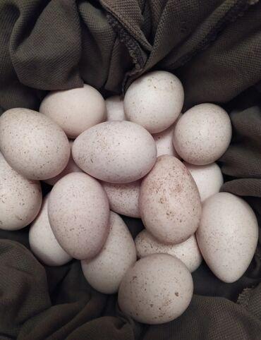hinduska satilir в Азербайджан: Hinduşka yumurtası satılır, mayalıdır