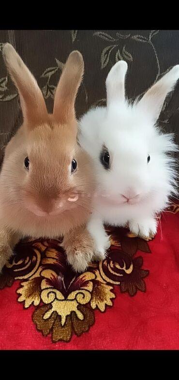 Животные - Пригородное: Продаю декоративных кроликов, белая парода львиная морда, 3 месяца не