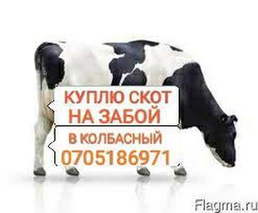 Куплю колбасный скот и вынужденый забой скота по максимуму