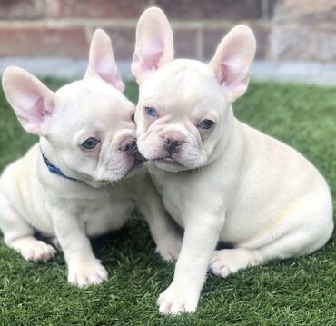 Meet these lovely Frenchies. They are precious, perfect puppies!
