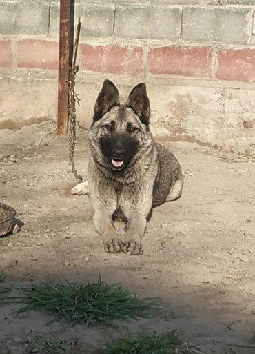акустические системы rs колонка в виде собак в Кыргызстан: Ищем самца Нем. Овчарки (чистой) для продолжения рода
