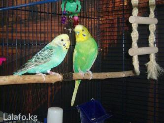 Разные попугайчики от 600 и выше. в Кок-Ой