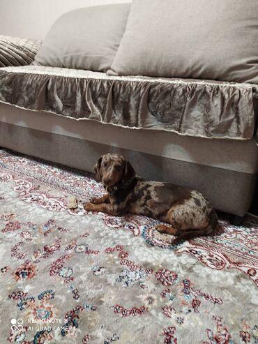 Продаётся собака: Такса мраморная. Привитая. Без документов