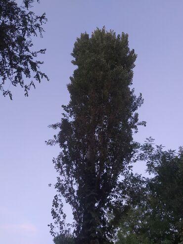 Продаю дерево