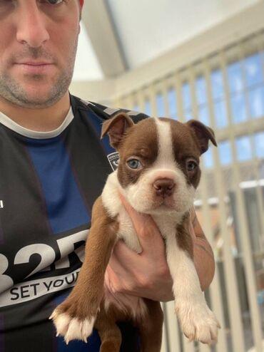 Τα κουτάβια Boston Terrier είναι διαθέσιμα προς πώληση εάν