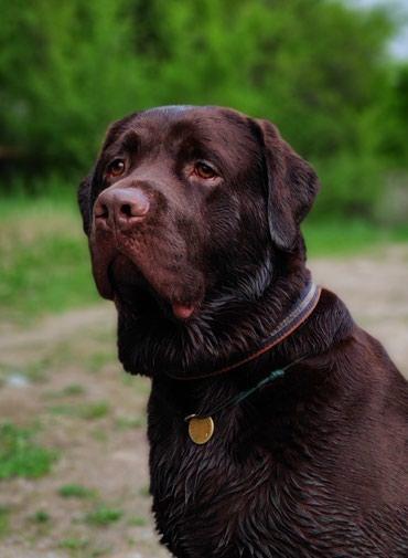 защита от собак в Кыргызстан: Вязка лабрадора (кобель),ищет подругу. Чемпион Кыргызстана,с хорошей р