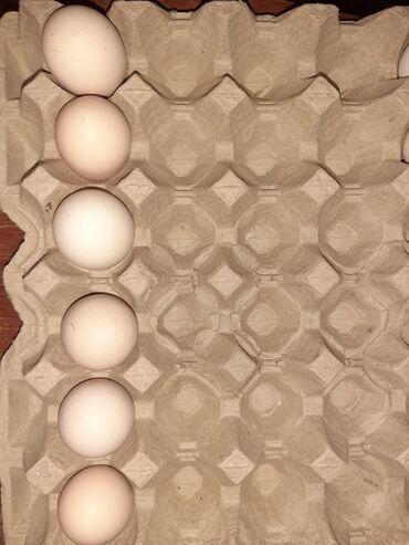 Dev brama layt yumurtasi . Mayali ve saglam3 azn . Diger brama