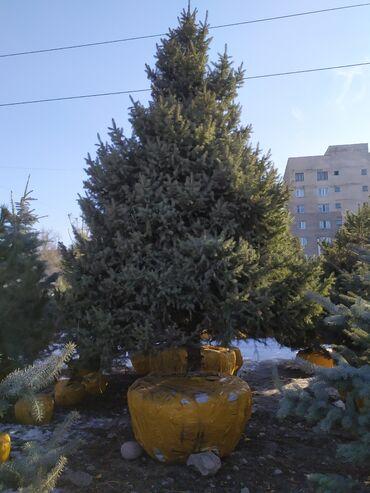 продажа семена в Кыргызстан: Продаем хвойные растения.Г бишкек ели,пихты,сосны,туи,можжевельники в