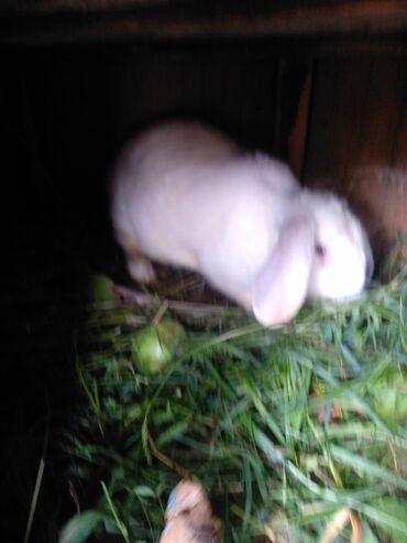 Животные - Тамчы: Продается кролик самка не покрыта не смотреться за детьми только на