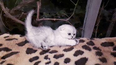 Животные - Бишкек: Продаю кошечек фолд серебристого окраса . Возраст малышек 40 дней