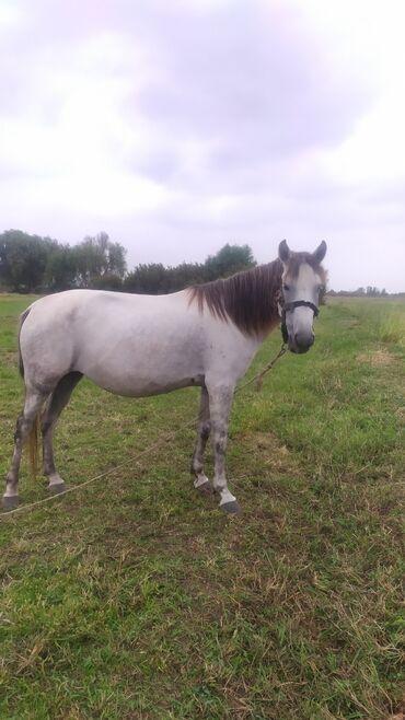 bmw 1 серия 125i at in Azərbaycan | ATLAR: At satılır.4 yaşı var.Sadəcə gözünün birində problem var.şəkildə əlavə