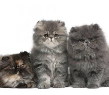Животные - Джалал-Абад: Персидские котята.Возрост 1,5 месяца.Приученые к лотку.В еде не