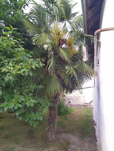 Дом и сад в Агдаш: Palma agaci 2 denedir hundurliyi 4 metdir