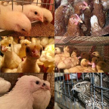 Витамины для цыплят утят индюшатсупер концентрат витамины и