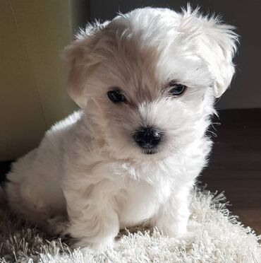 Maltese puppy for sale Ready for rehoming both genders available