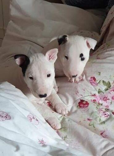 Αγγλικά Bull Terrier κουτάβια προς πώλησηΑγγλικά κουτάβια Bull Terrier