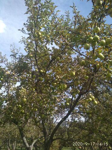прод дом в Кыргызстан: Прод-ся яблоко голден