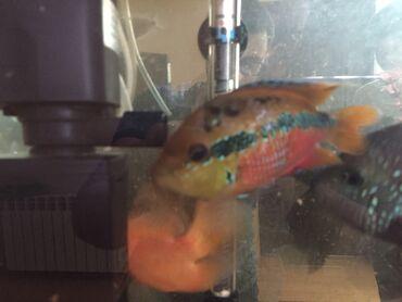 Salvini balığı tam sağlamdır rəngarəngdir