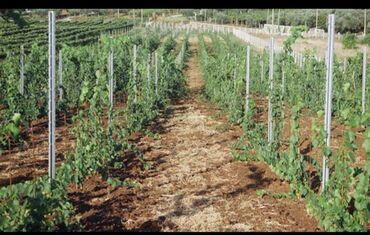 Шпалеры для привязки винограда, яблонь, груш и других плодовых
