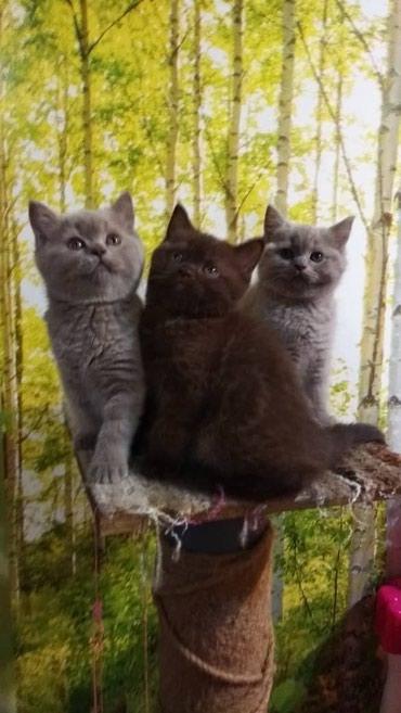 Продаются Британские котята с родословной (документами). Остались: Од