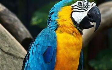1933 elan   QUŞLAR: Sifarishle Macaws Ara Yalnizca sifarisle getizdirilir ( xaricden ) p