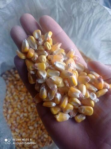 220 объявлений   ЖИВОТНЫЕ: Продаю Кукурузу в зерне сухая чистая  в мешках с доставкой в Бишкек Ав