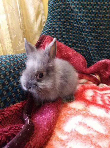 Грызуны - Беловодское: Здравствуйте, продаются декоративные карликовые крольчата. Пушистые