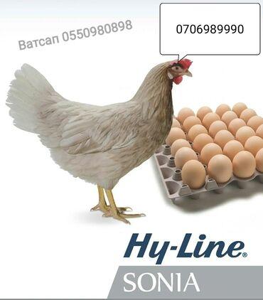 Продаю | Инкубационные яйца | Хай-Лайн Соня Грей