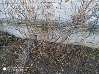 Смородина свежезамороженная - Кыргызстан: Смородина имеется около 12 шт.  Плод отличный как крыжовник