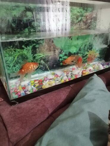 Akvariumlar - Azərbaycan: Qizil balıqlar 3 eded 2 ededi böyükdür biri ortadir su qabisi böyükdü