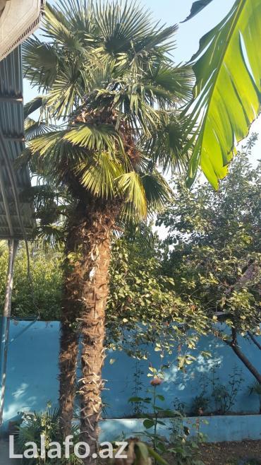 Gəncə şəhərində Palma ağacı 1-i 250 manat 28-30 illik ağacdır. Gəncə