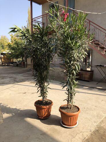 Комнатные растения - Узген: Денежное дерево