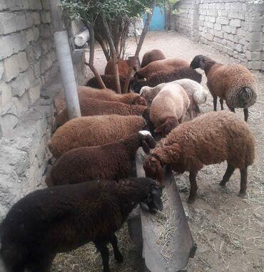 quzular - Azərbaycan: Quzu. Erkek ve diwi damazliq Qala cinsi quzular. 3-6 ayliq quzulardir