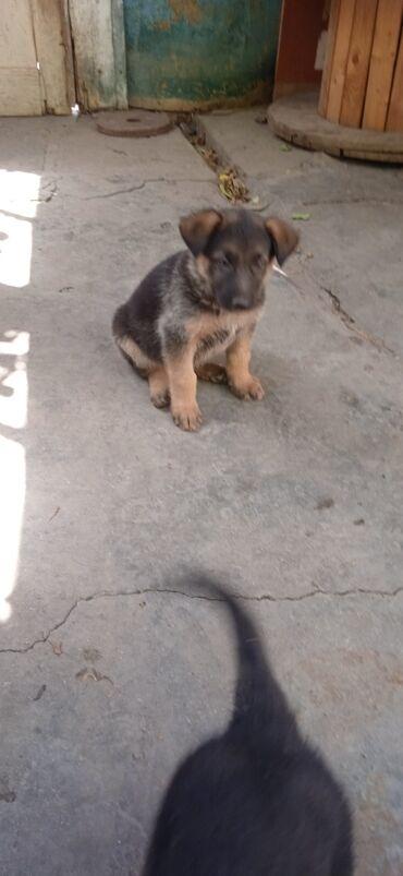 Животные - Дачное (ГЭС-5): Продаю щенят(возраст 6 недель).Взрослый на фотографии папа