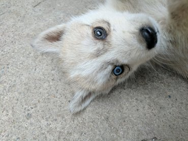 Чистокровные щенки хаски, 1,5 месяца. в Беловодское