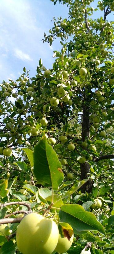 63 объявлений: Срочно продаю яблоки по хорошей цене сортов очень много. можете